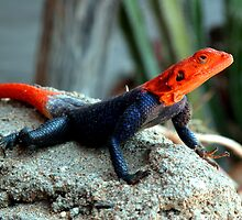 Rock Agama - Namibia by Namibia Tours  & Safaris