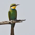 Swallow Tailed Bee Eater (Merops hirundineus) by Neville Jones