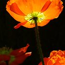 Poppy so Bright! by Gabrielle  Lees