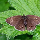 Meadow brown butterfly by missmoneypenny