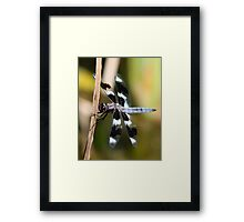 Eight-Spotted Beauty Framed Print