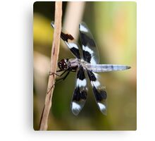 Eight-Spotted Beauty Metal Print