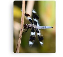 Eight-Spotted Beauty Canvas Print