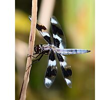 Eight-Spotted Beauty Photographic Print