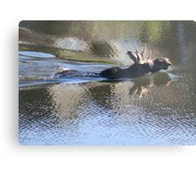 Swimming Moose Metal Print