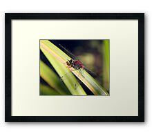Red, White and Black: The Striking Belted Whiteface Framed Print