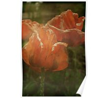 Fading Poppies Poster