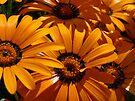 Seeing Orange ~ Africian Daisies by Lucinda Walter