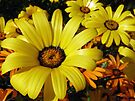 African Daisies - Springtime in Arizona by Lucinda Walter
