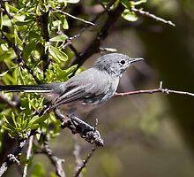 Blue-Gray Gnatcatcher by Chris Heising
