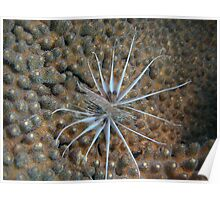 abroholos islands dwarf lionfish on coral Poster