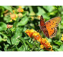 Butterfly ~ Gulf Fritillary Photographic Print