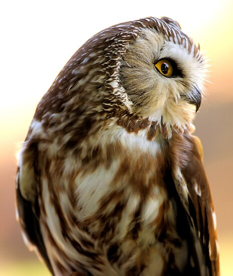 Northern Saw-whet Owl by Micci Shannon