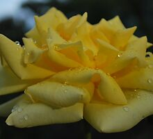 Yellow on a Rainy Day by Lozzar Flowers & Art