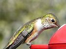 thirsty hummingbird by tego53