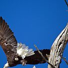 Bald Eagle on the Bitterroot River by amontanaview