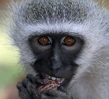 Vervet monkey enjoying his food by jozi1