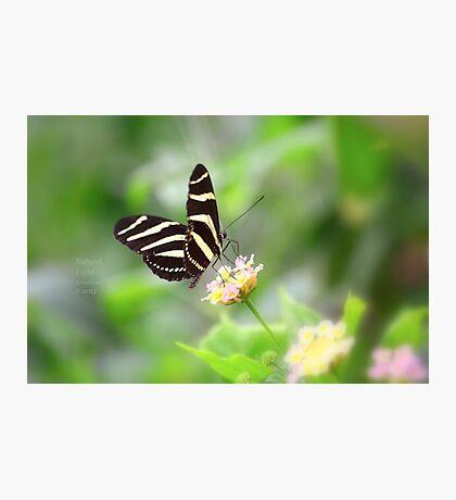 """ Zebra Longwing "" Photographic Print"