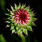 Thistle by bberwyn