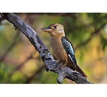 Kookaburra Sittin' In An Old Gum Tree Photographic Print