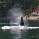 Orca by zumi