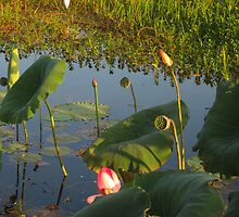 Egret & Water Lilies, South Aligator River, Kakadu by Pauline Andrews