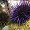 (Sea Life Category) - Class - Echinoidea - Sea Urchins
