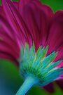 Magenta Gerbera by Renee Hubbard Fine Art Photography