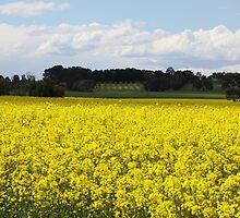 Canola Fields, Moriac, Victoria, Australia by Ian Williams