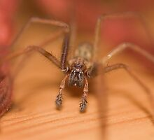House spider by Jon Lees