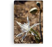 Algarve: Sea Daffodil Canvas Print