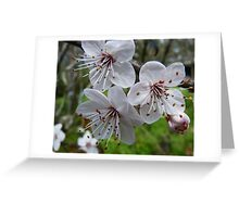 Spring has Sprung...Plum Blossom. Greeting Card