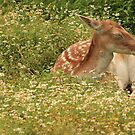 Deer in grass. by Albert1000