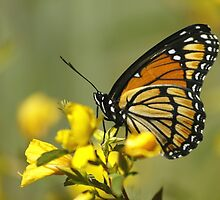 Viceroy Butterfly by Gregg Williams