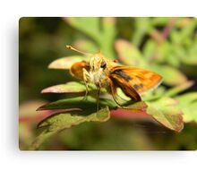 Grass skipper at rest. Canvas Print