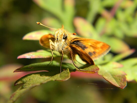 Grass skipper at rest. by William Brennan