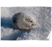 An Arctic Lemming in the Spring Poster