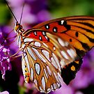 Gulf Fritillary or Passion Butterfly  by loiteke