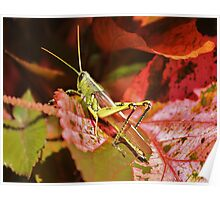 Beautiful Grass Hopper Poster