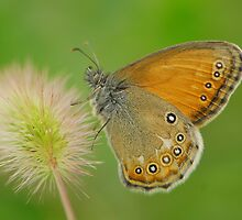butterfly and bristlegrass by davvi