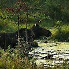 Cow Moose In Bog by mooselandtours