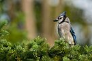 Blue Jay in Spruce Tree - Ottawa, Ontario by Michael Cummings