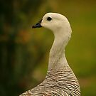 Upland Goose by naturalnomad