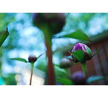 peony in the crowd Photographic Print