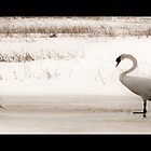 Swans walking by Theodore Black