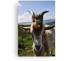 Billy theGoat Canvas Print