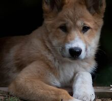 Dingo Pup_1 by Sheryle  Griffiths
