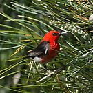 Scarlet Honeyeater by Anna Koetz