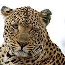 Can Leopards Wink? by Michael  Moss