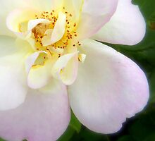 Plum Island Rose... by LindaR